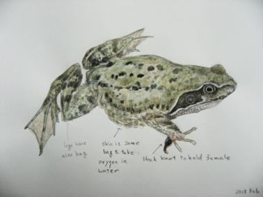 Common Frog / ヨーロッパアカガエル