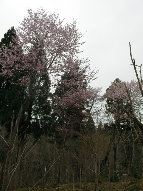 https://afan.or.jp/wp/wp-content/uploads/old/120430_sakura.JPG
