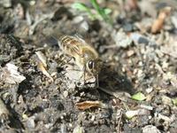 争いに敗れて地面に落ちたニホンミツバチ