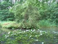 弥生池に咲くコウホネ