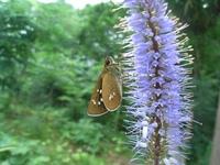花の蜜を吸うセセリチョウの仲間