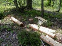 スギの木を伐採し皮を剥ぐ