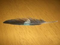 見かけない鳥の羽