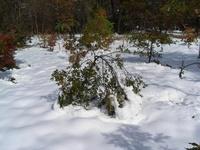 091103_雪の重みで枝が垂れ下がった苗木