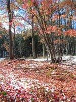 091103_カエデの葉も落ちました