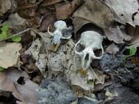ペリットから出てきたネズミの頭骨