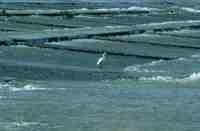 越流する第十堰(下堰)で魚を狙うサギ