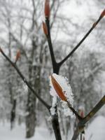 クロモジの冬芽(葉芽)