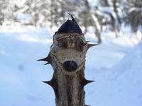 ハリギリの冬芽
