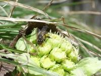 フキノトウとニホンミツバチ