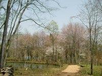 弥生池のほとりに咲くコブシとオオヤマザクラ