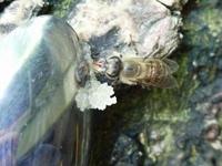 ハチミツを吸うニホンミツバチ