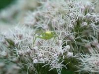 ハナグモの一種