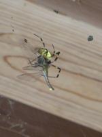 アカネ類を捕食するジョロウグモ