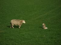 散策路で見られる子羊