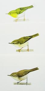 上からモリムシクイ(wood warbler)、キタヤナギムシクイ(willow warbler)、チフチャフ(chiffchaff)