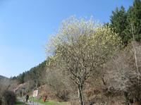 チフチャフが来ていたヤナギの木