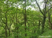 マダラヒタキの記録があるウェールズ・アファンに残る数少ないオークの森