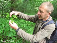 オークの枝でマダラヒタキの餌になる虫を探すデービッドさん