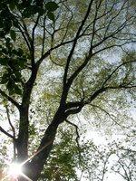 新緑のマザーツリー