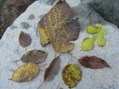 何種の木の葉があるでしょうか?
