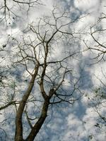 オニグルミの枝先