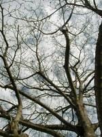 コブシの枝先