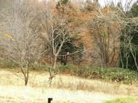 アファンセンター前の木立にとまるノスリ