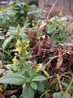 ナニワズの花が