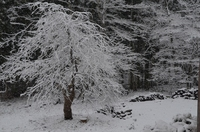 121127_シダレザクラの雪.JPG