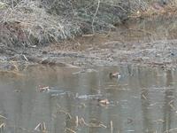 5羽のオシドリ