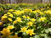 リュウキンカの黄色い絨毯
