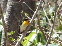 黄色い鳥 キビタキ