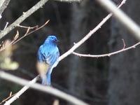 青い鳥 オオルリ