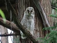 130530_owl.JPG